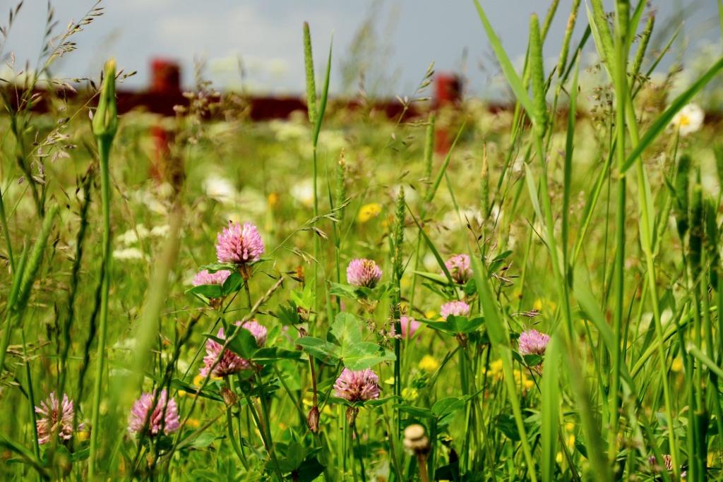 Flower fields-Sweden