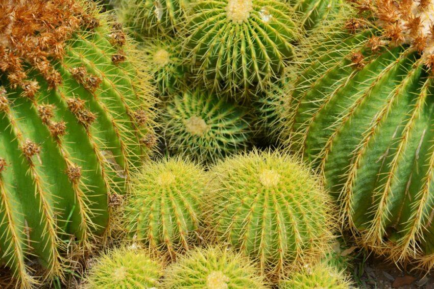 Kaktus i New Mexico