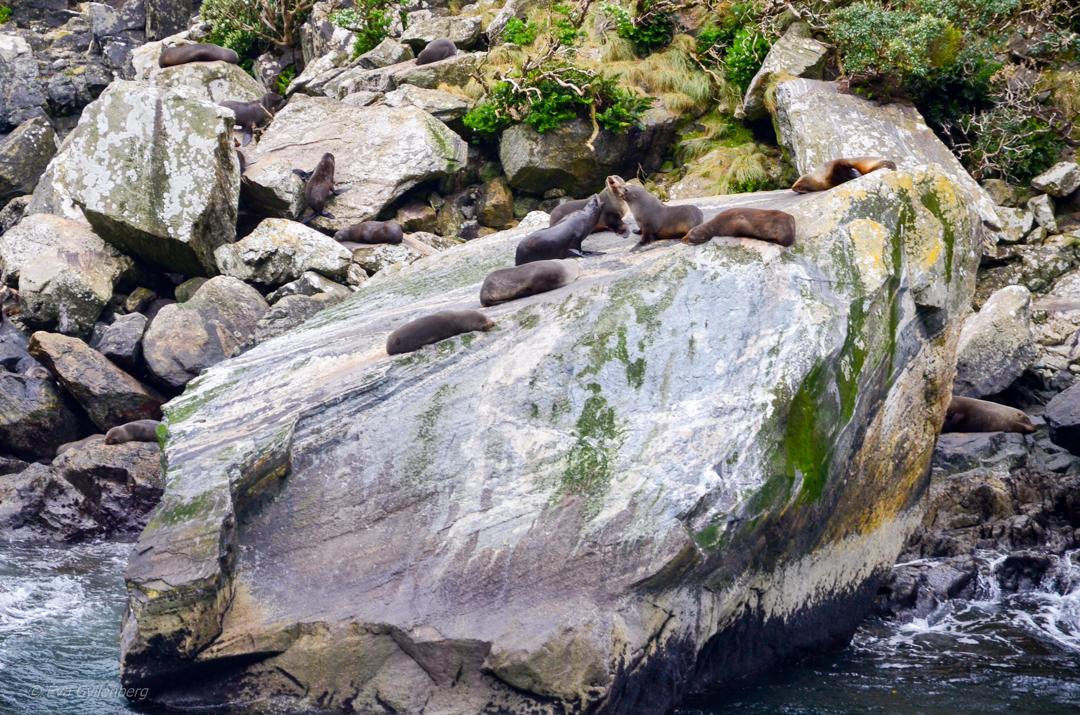 Sälar i Milford Sound