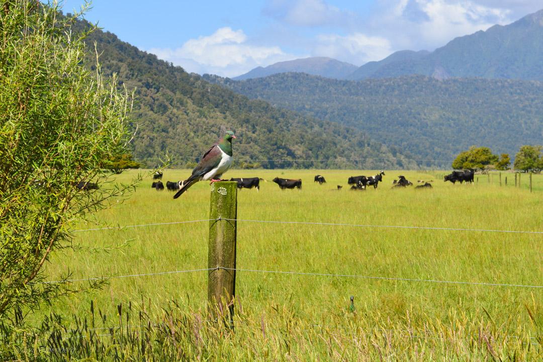Franz Josef National Park - Resedagbok Nya Zeeland dag 6 26