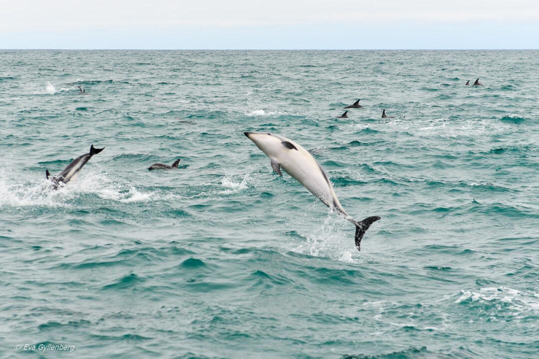 Delfiner i Kaikoura