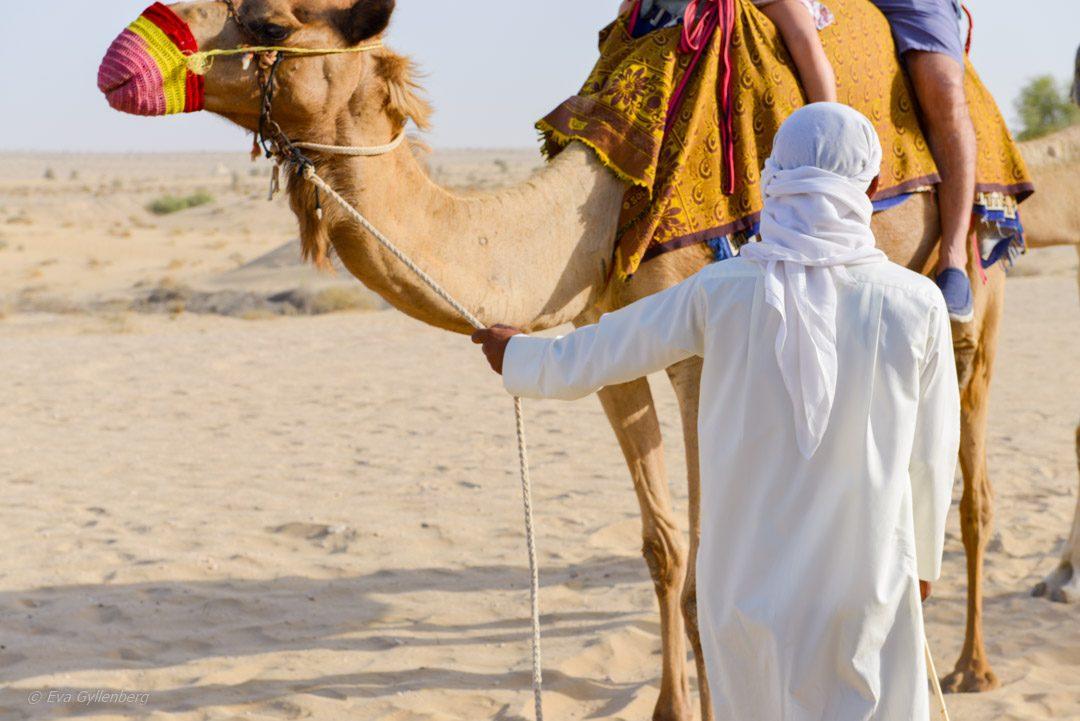 Dubai-öken-kamel