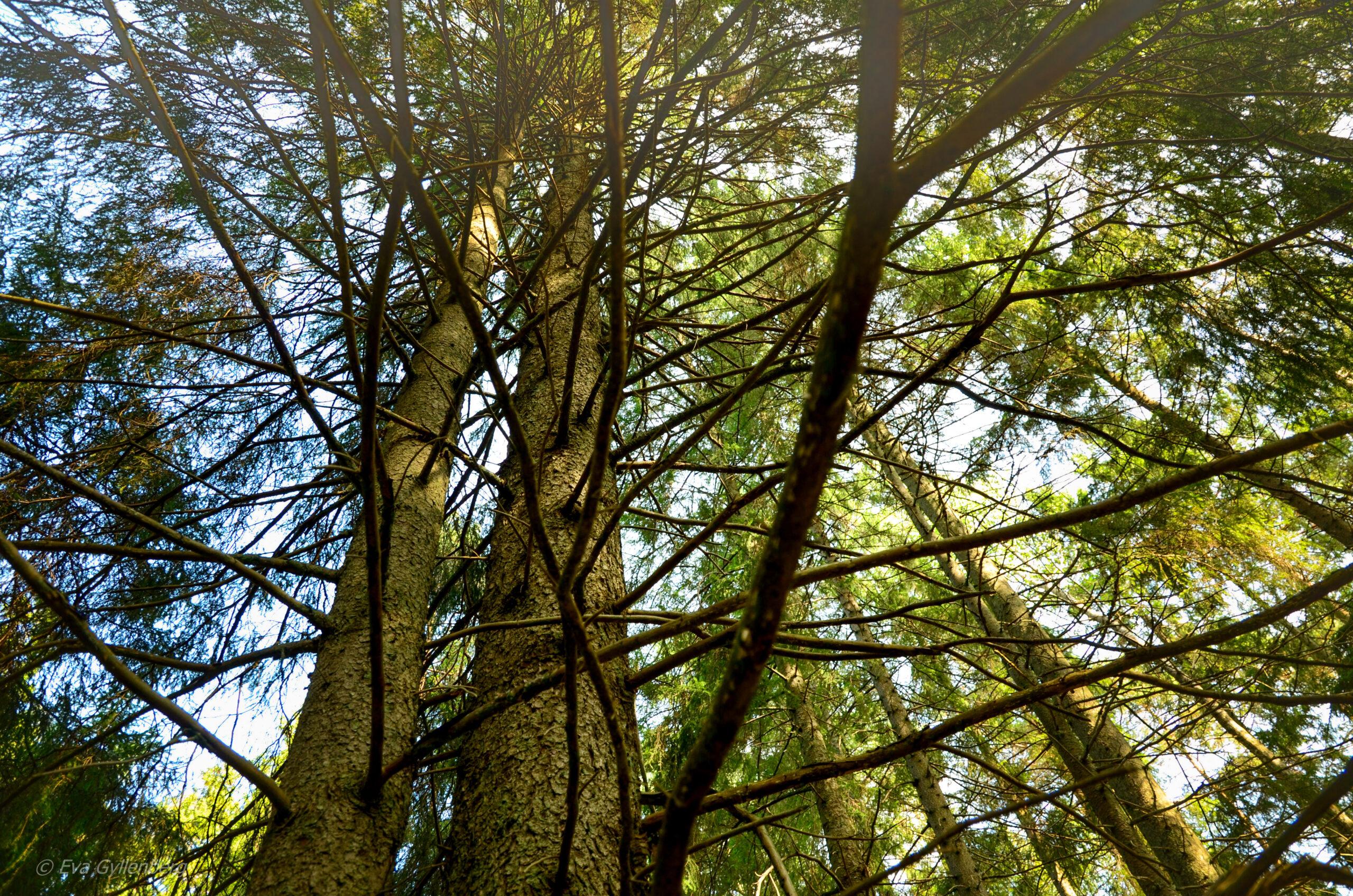 Tyresta nationalpark: Trädkronor