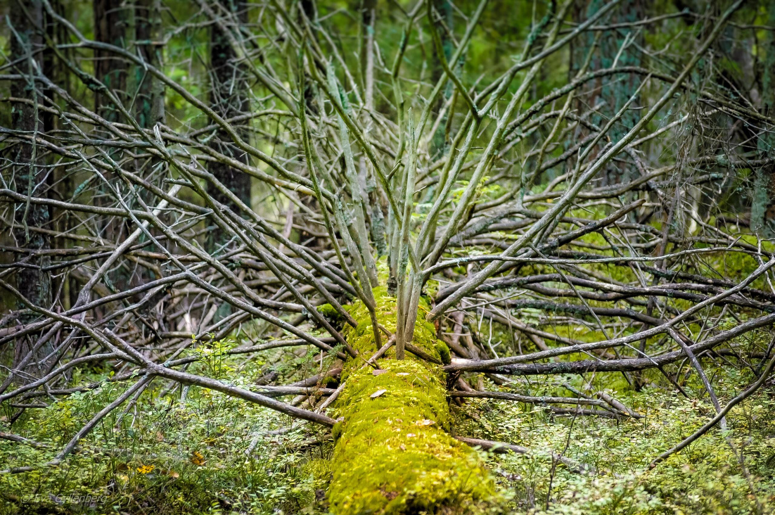 Tyresta nationalpark: Fallet träd
