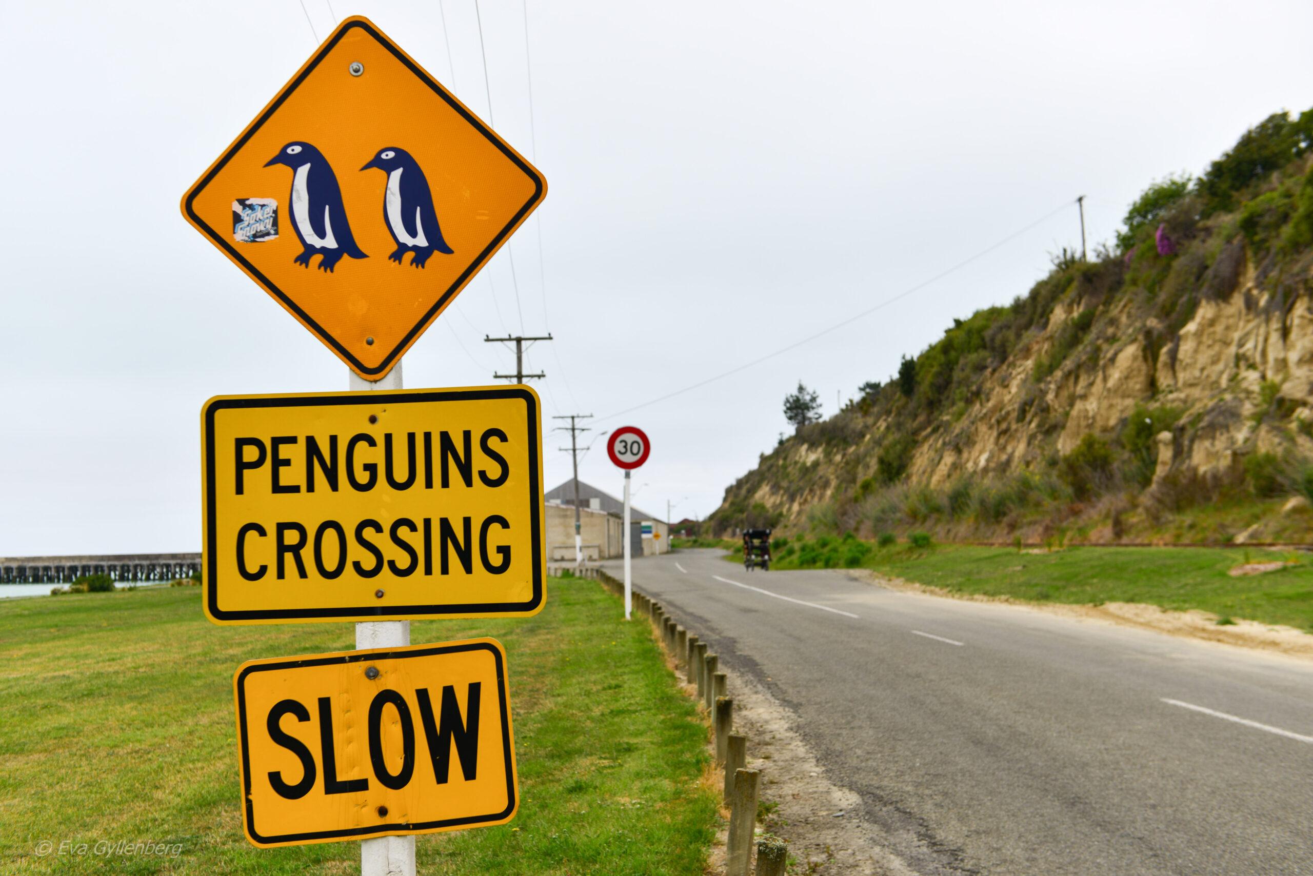 Små blå pingviner - Oamaru