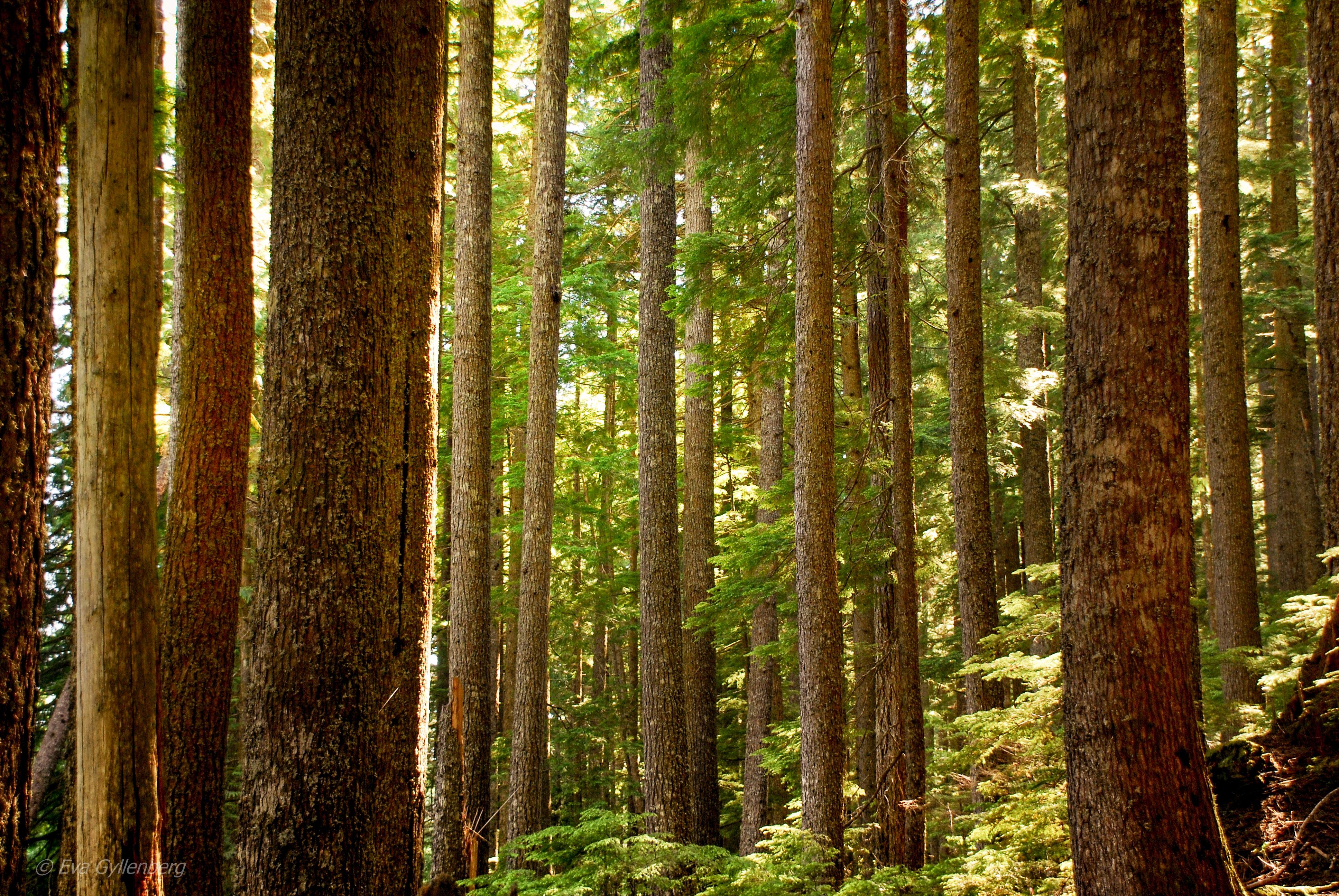Skog - Mount Rainier - Washington