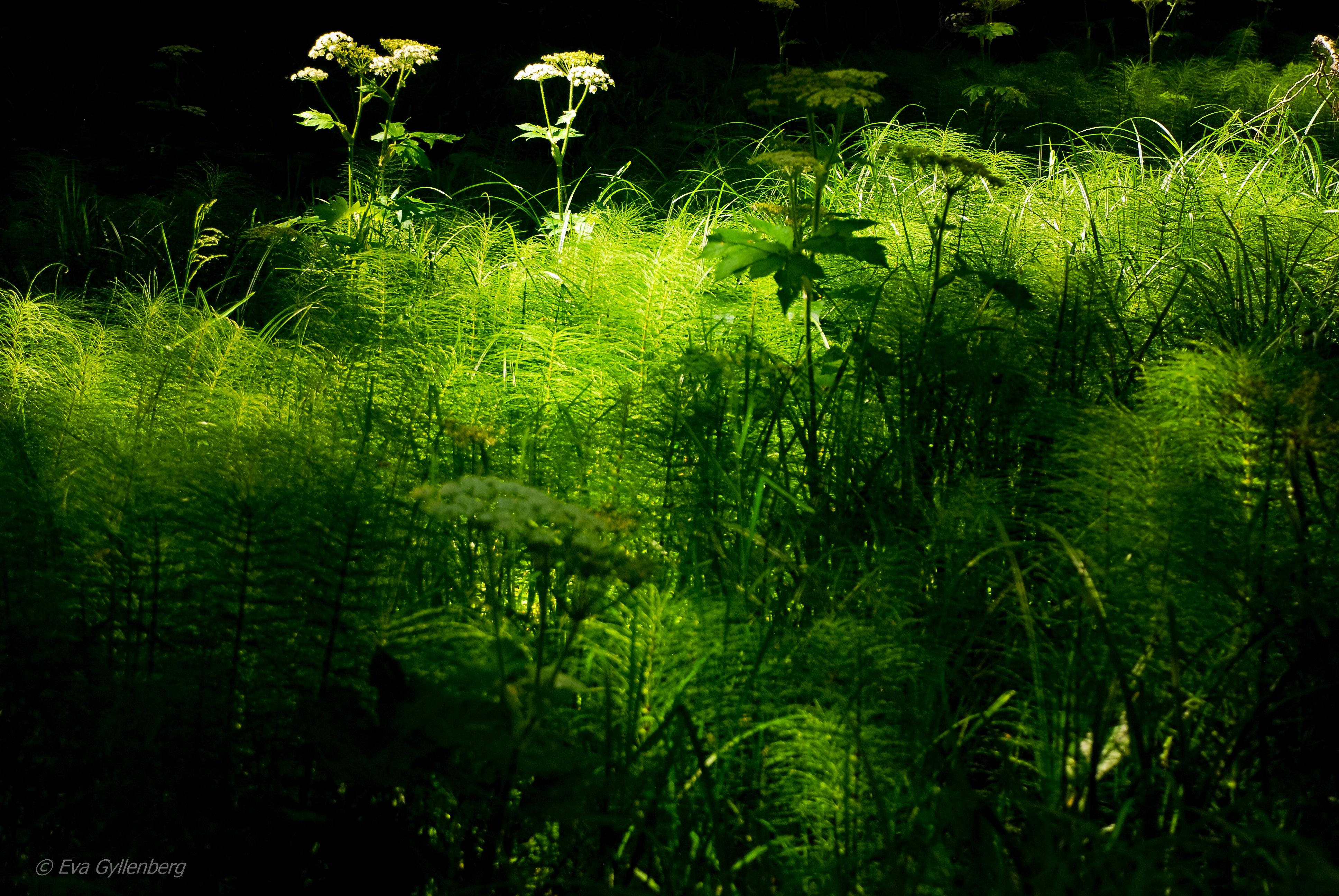Vårgrönska - Mount Rainier - Washington