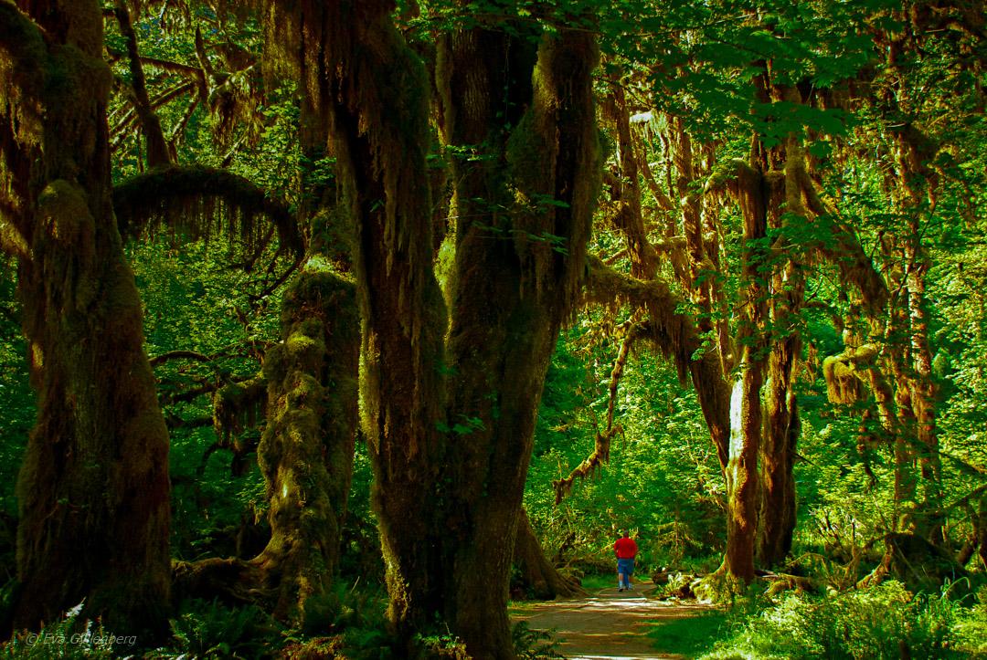 Hoh rainforest - Olympic National Park - Washington - USA