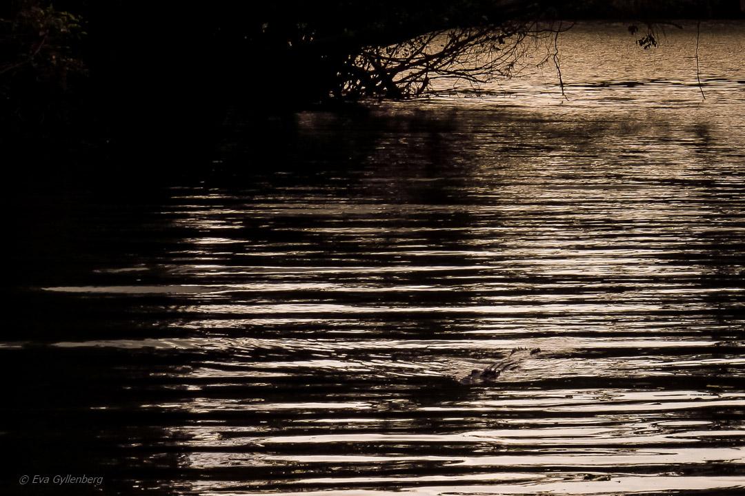 Krokodil-Daintree-Queensland-Australien
