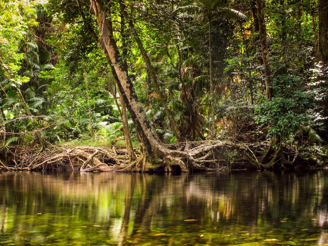 Daintree - Queensland - Australien