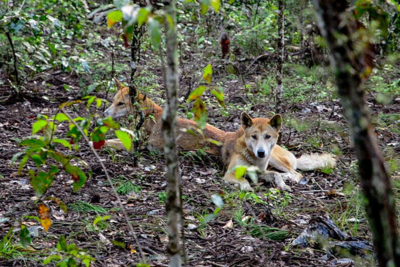 Fraser Island - Australia - Dingo