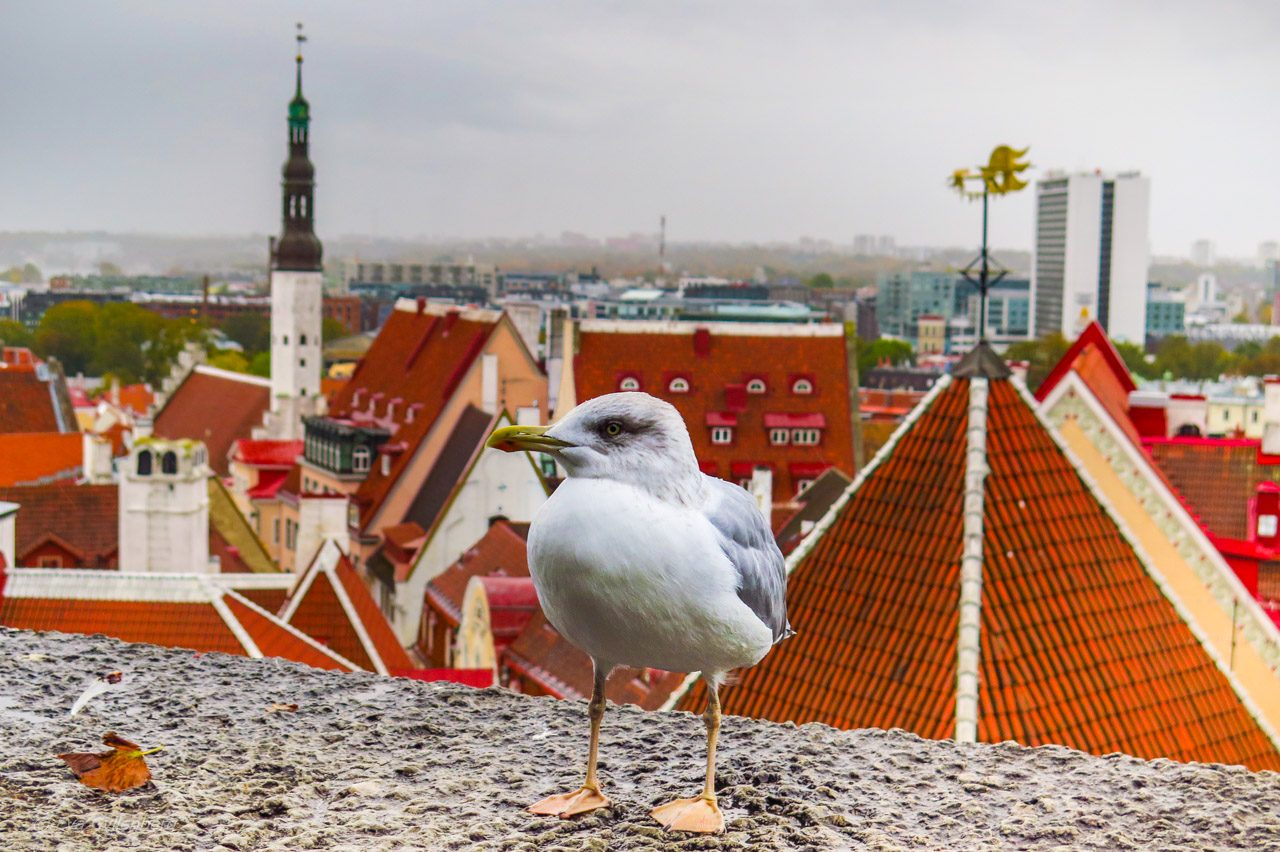 Steven the seagull - Tallinn - Estland