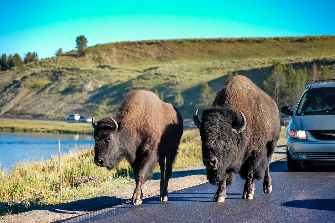 Yellowstone National Park - Bisons