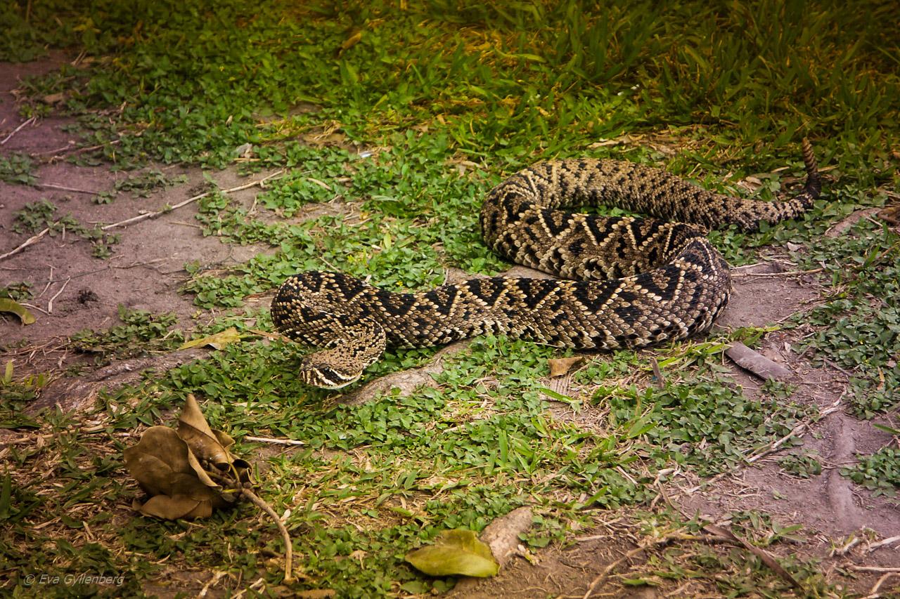 Skallerorm i Everglades