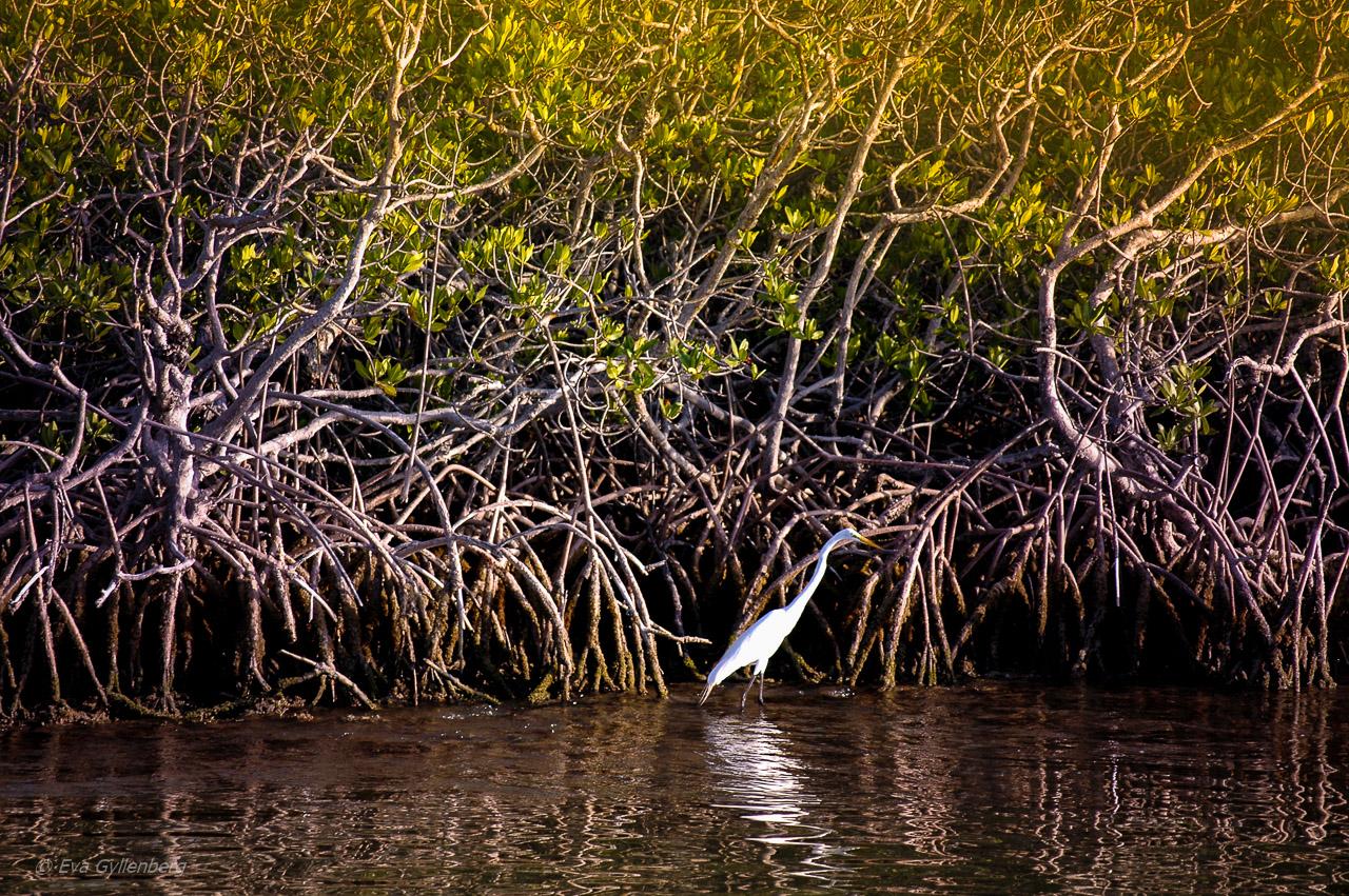 Everglades vit ibis
