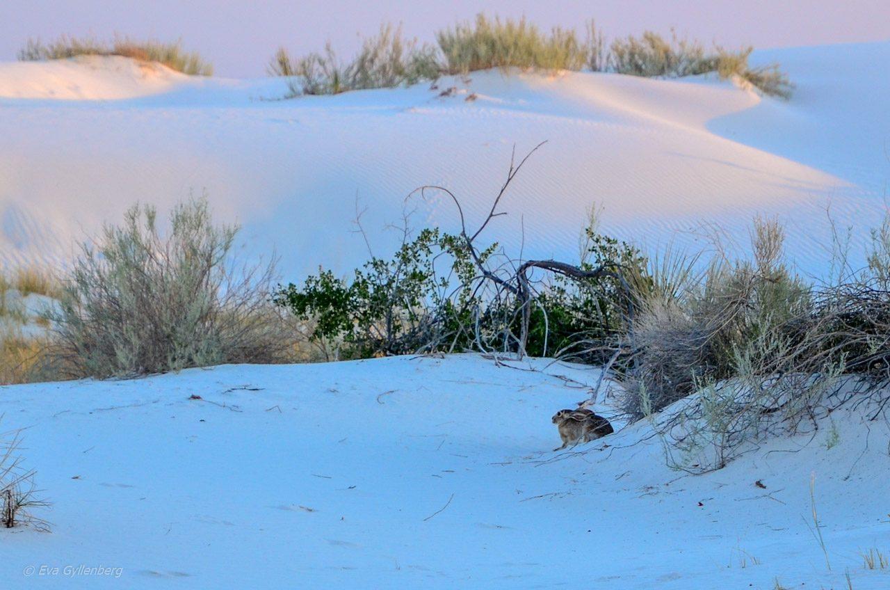 White Sands Rabbit