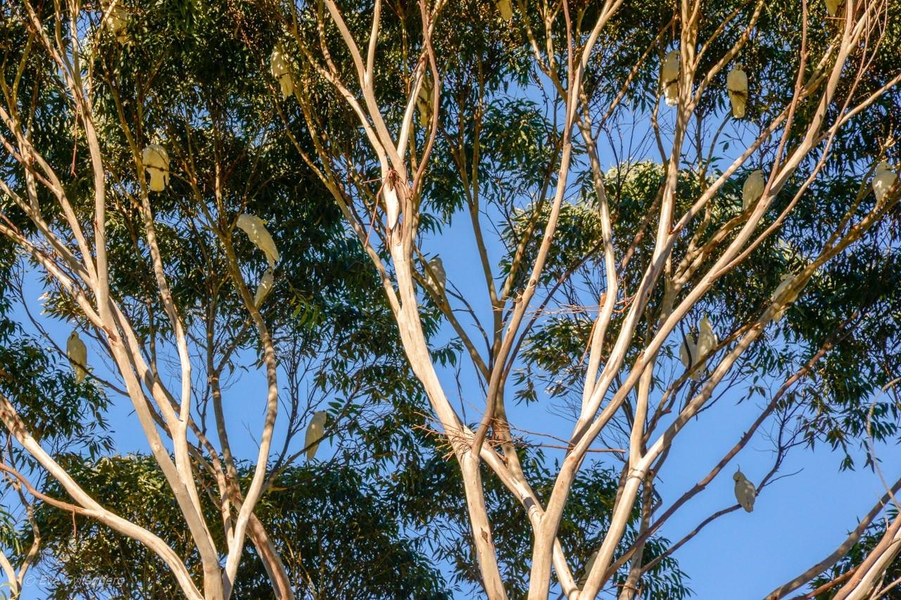 Träd med kakaduor - Kennett River