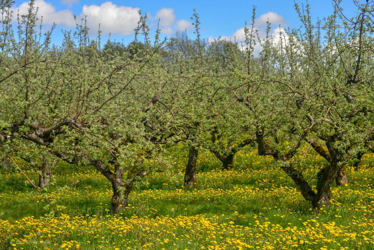 Äppelodlingar i Skåne