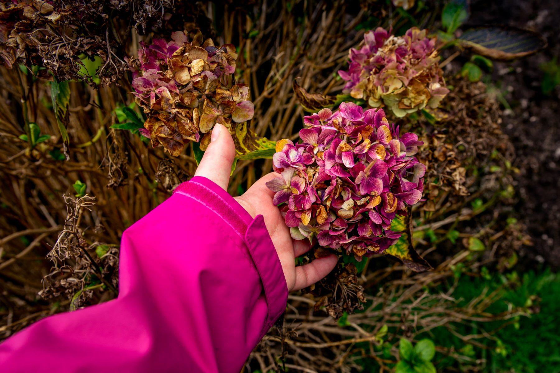 En sista blommande hortensia - Maderia