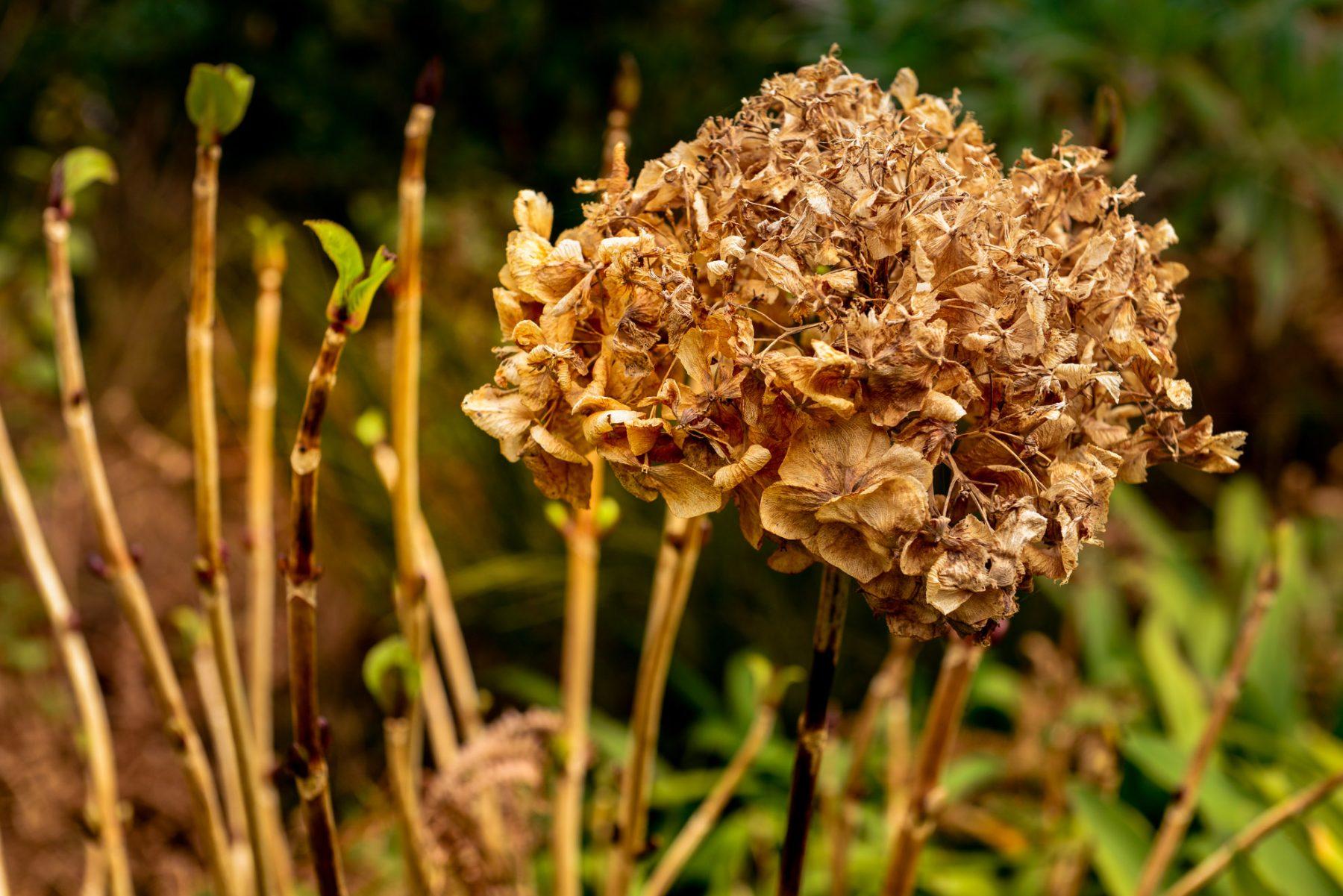 Hortensian har blommat ut - Madeira