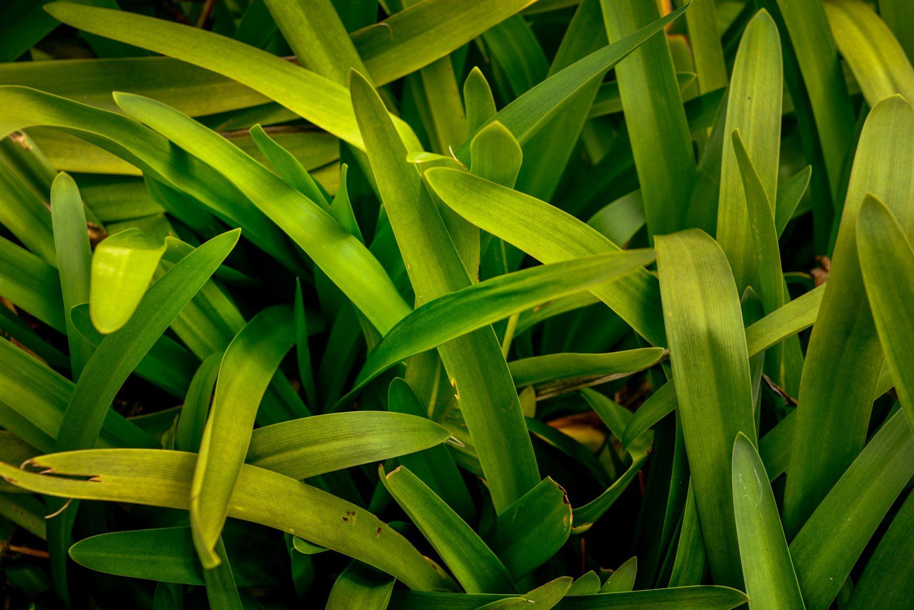 Gröna Madeira