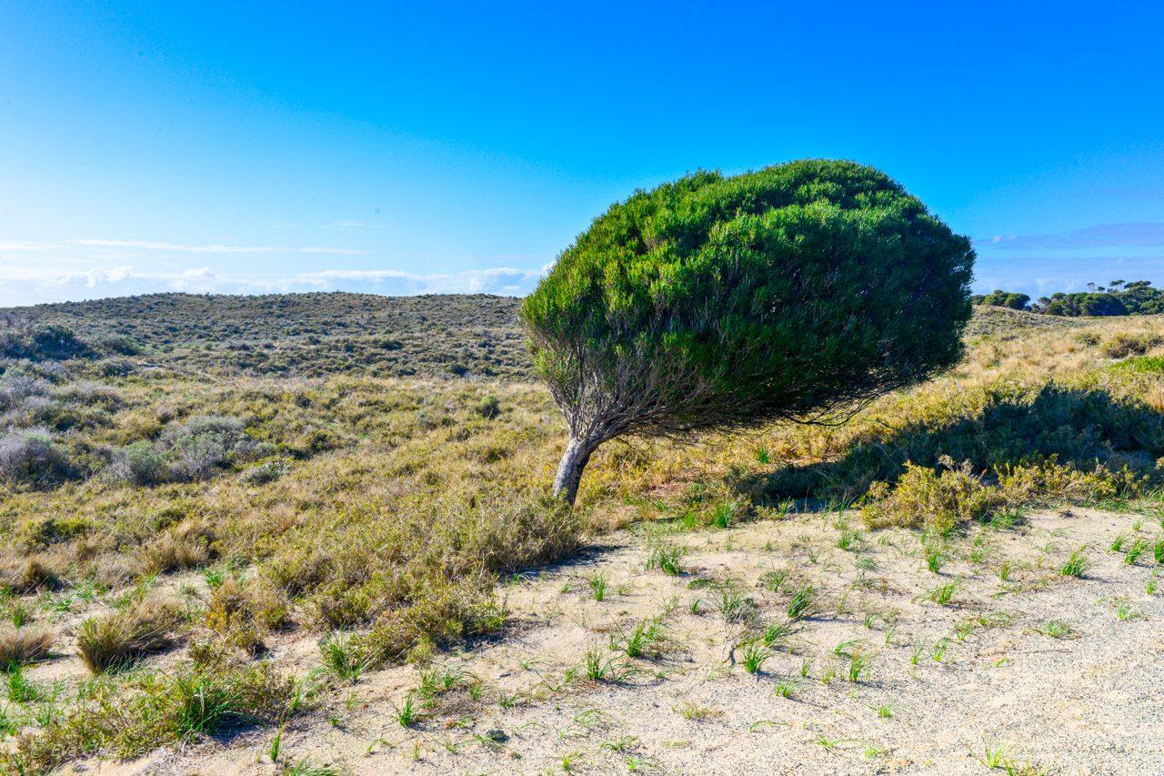 Rottnest Island - Australien - Vinpinat träd
