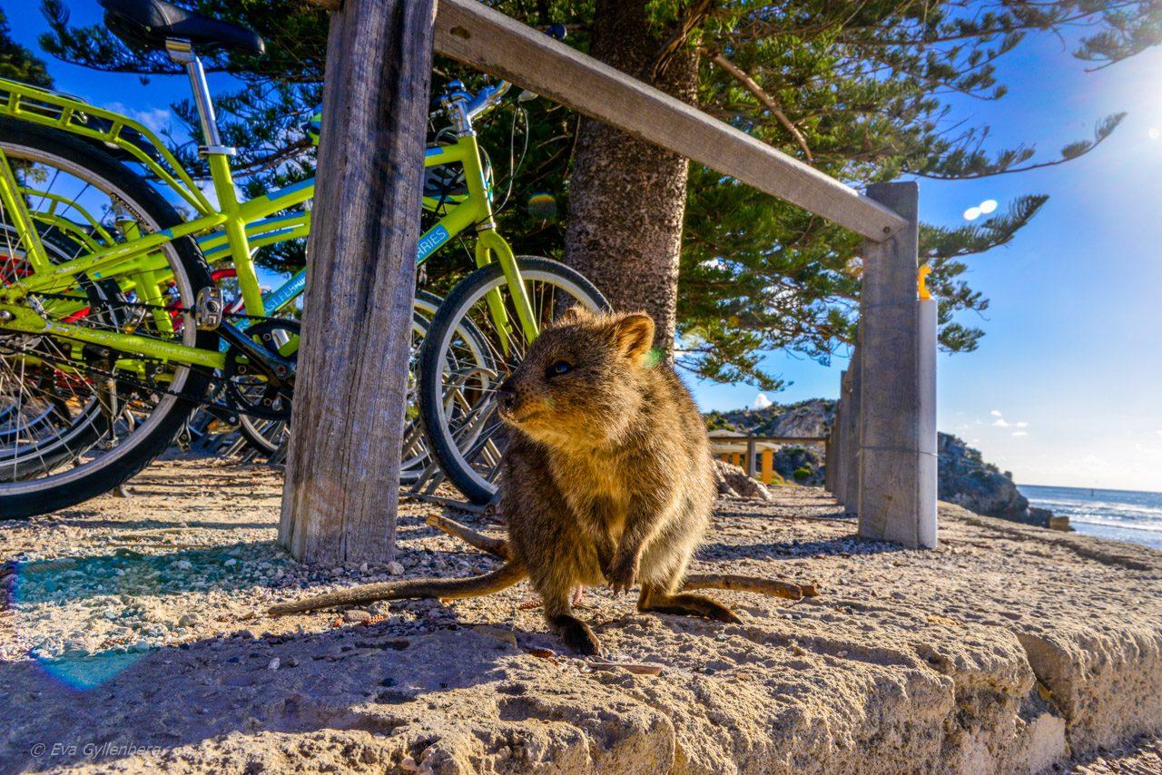 Rottnest island - Quokka