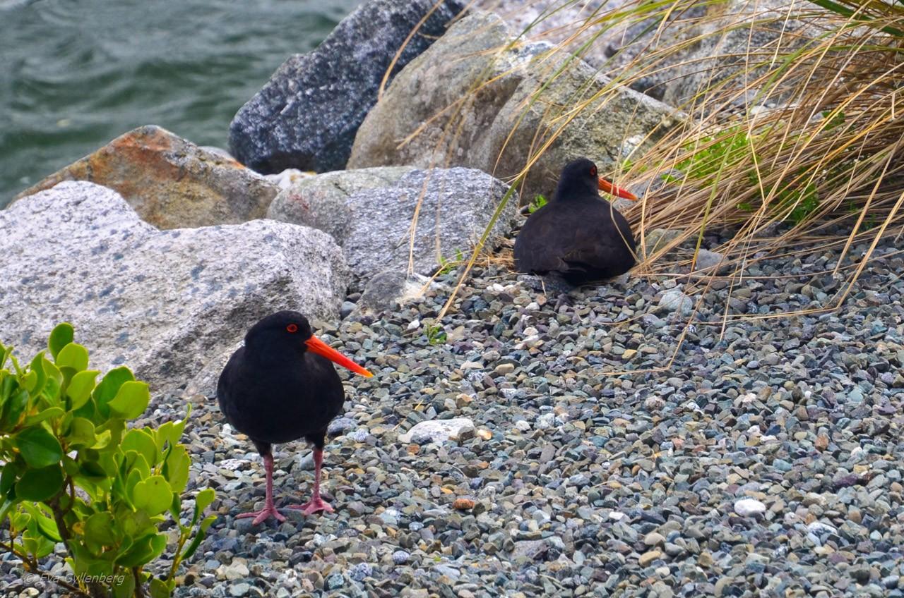 Oyster catchers i Milford Sound