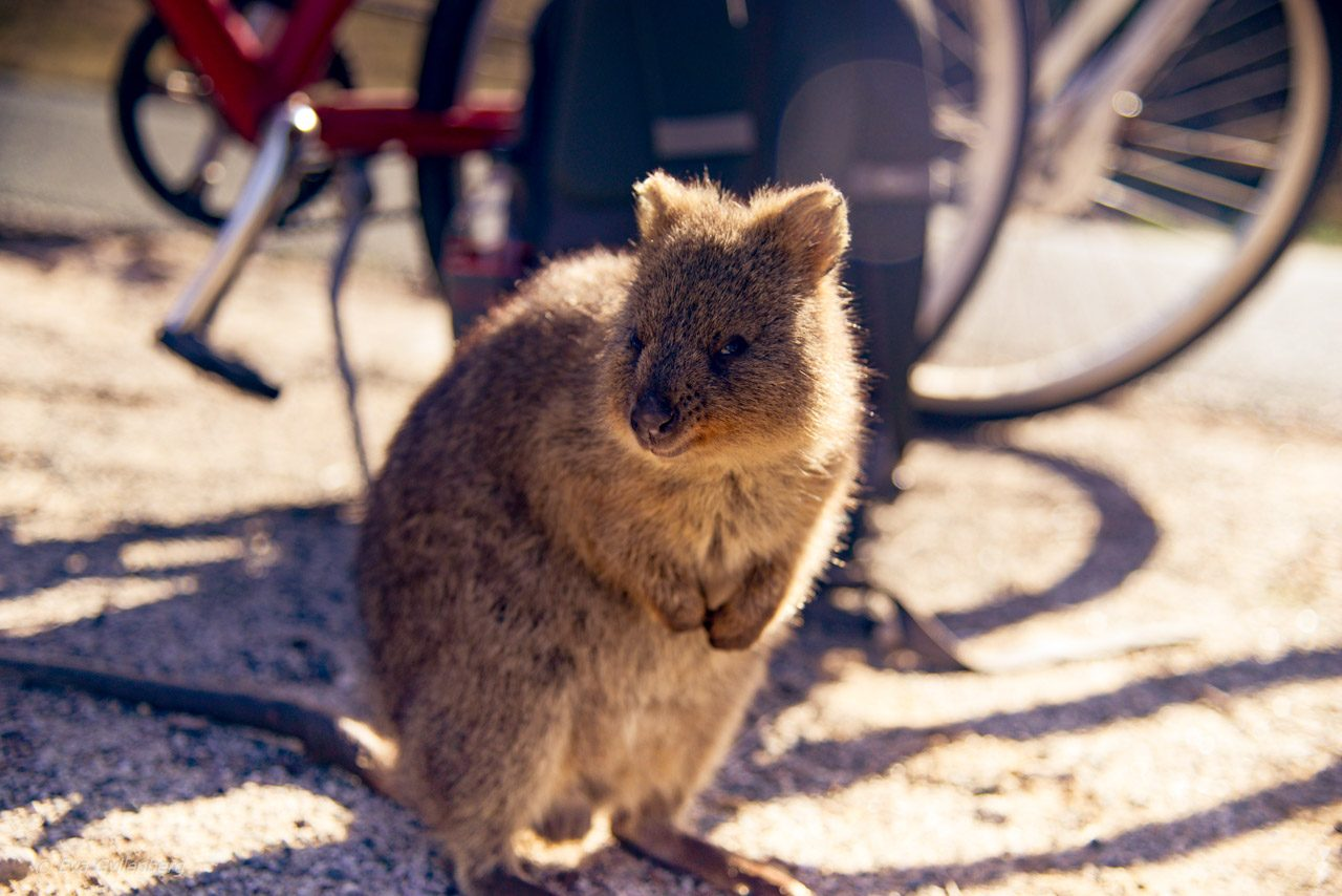 Rottnest Island - Perth - Australien