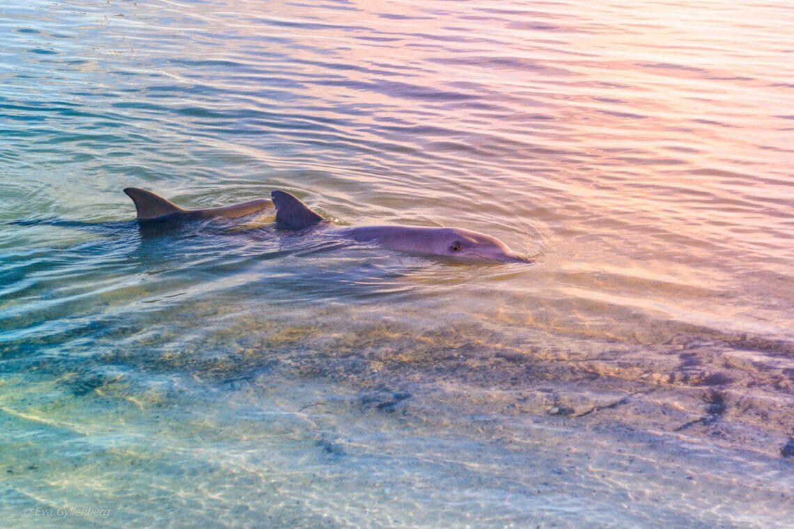 Shark Bay - Korallkustens marina underverk i Australien 1
