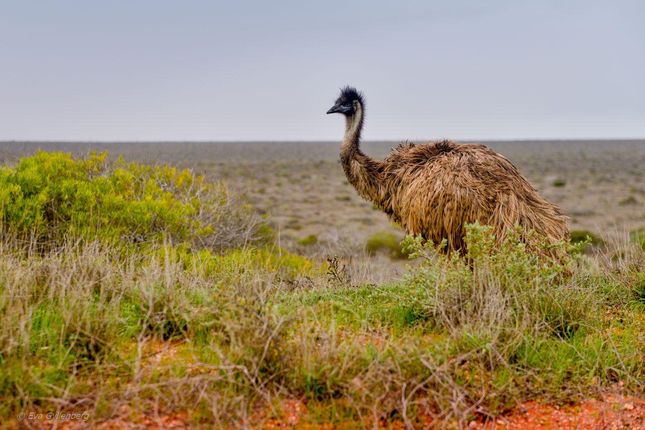 Emu-Australien-Outback