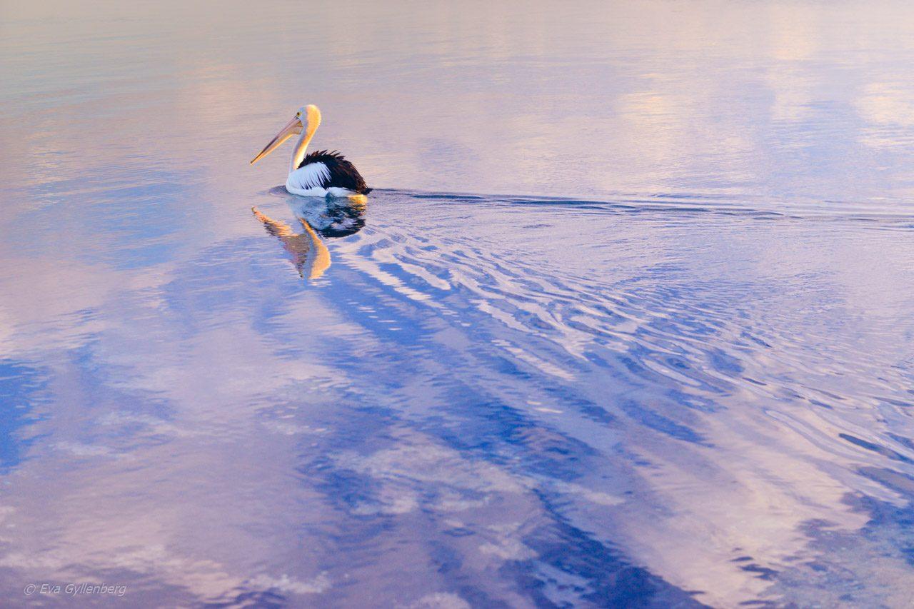 Pelikan i Shark Bay