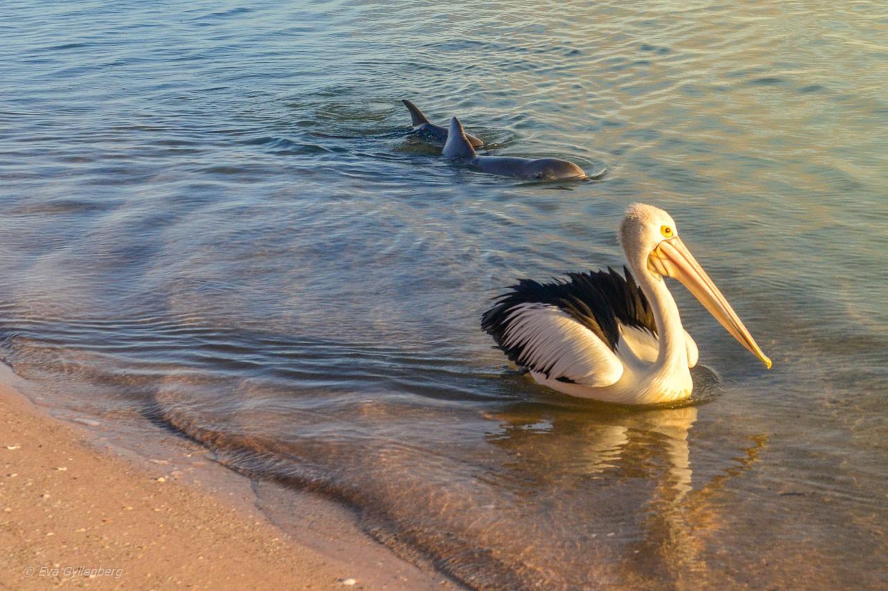 Delfiner i Shark Bay