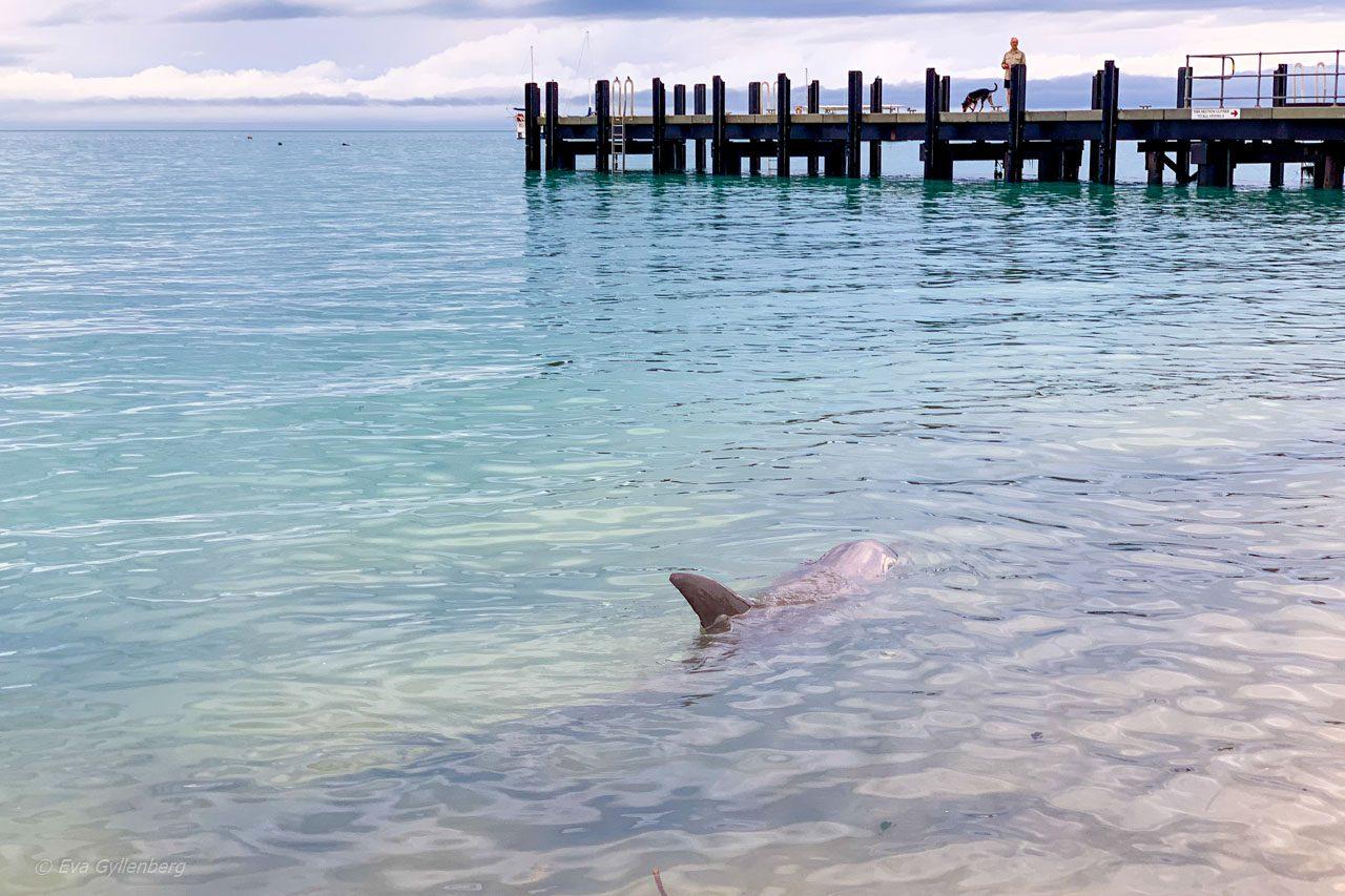 Delfin vid piren i Monkey Mia