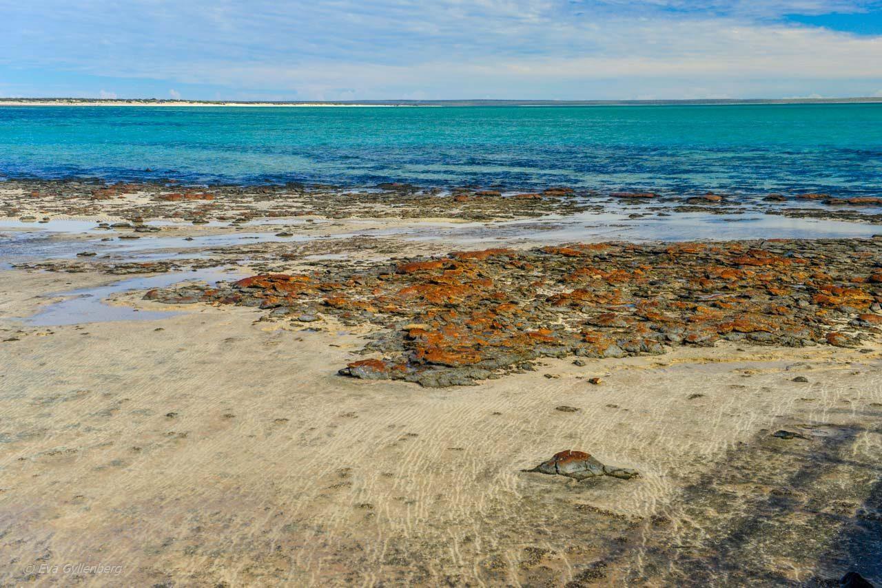 Levande stromatoliter vid Hamelin Pool, Shark Bay