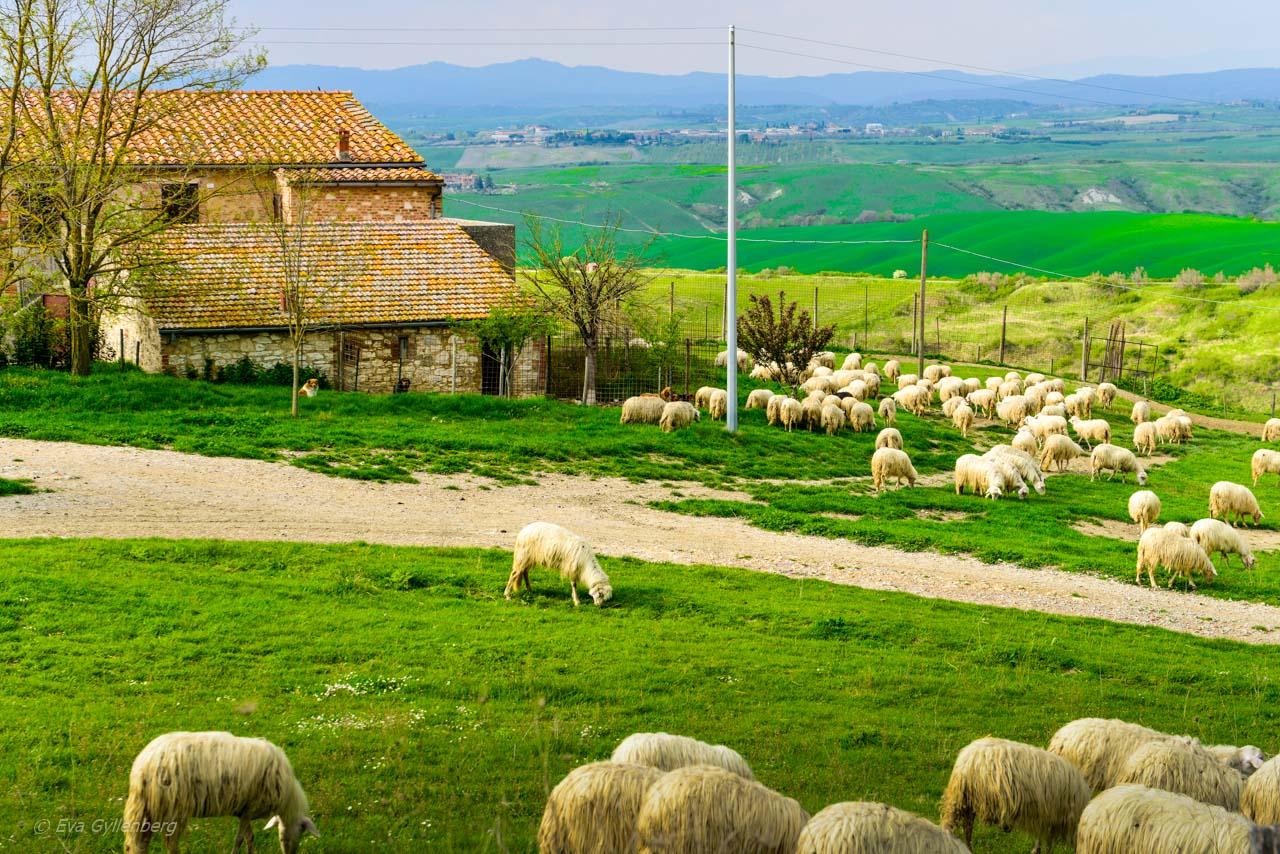 Val d'Orcia - fårfarm