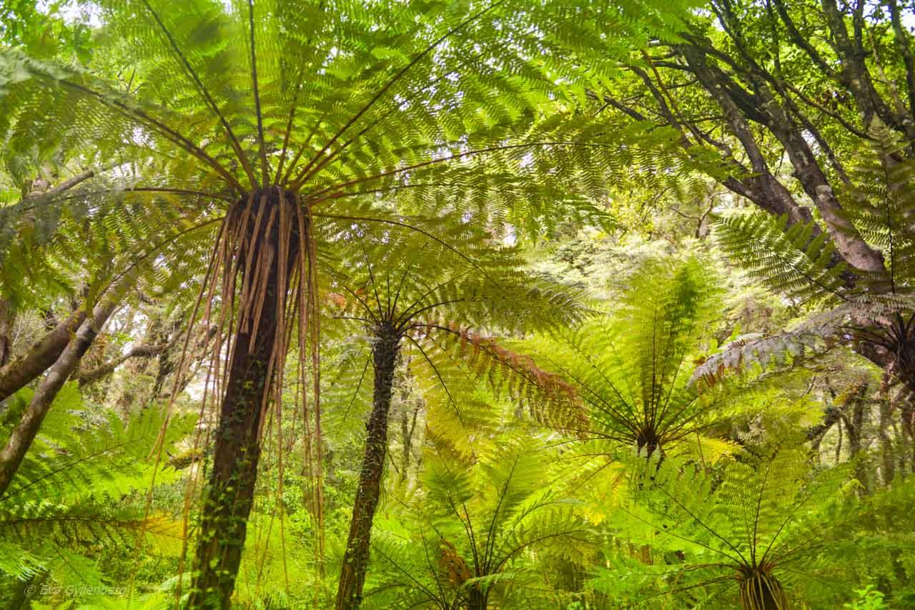 Ormbunksskog på vägen till Milford Sound