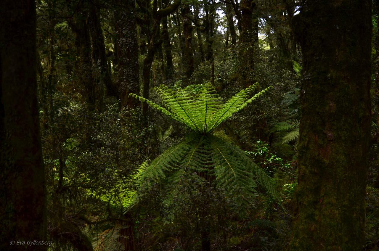 Regnskog på vägen till Milford Sound