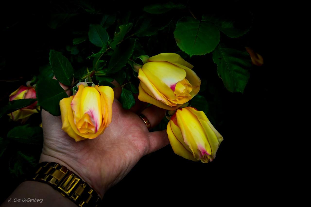 Vackra gula rosor i Toscana