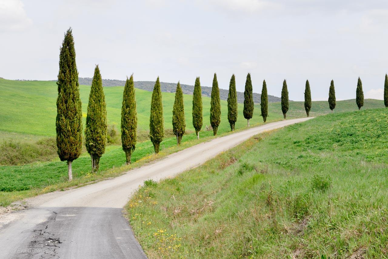 Cypresser vid en väg i Toscana - Italien
