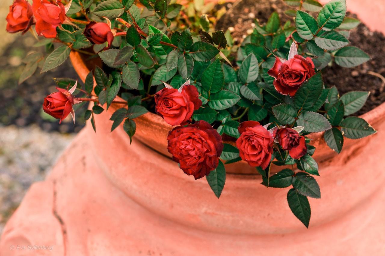 Röda rosor i en terrakottakruka i Toscana
