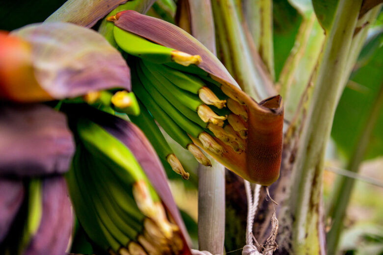 Bananer odlas i Faja Dos Padres