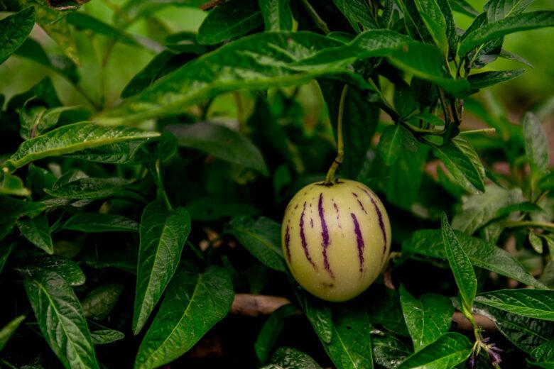 Passionsfrukt odlas vid Faja Dos Padres