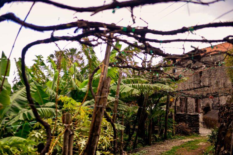 Vinrankorna omsluter vägen i Faja Dos Padres