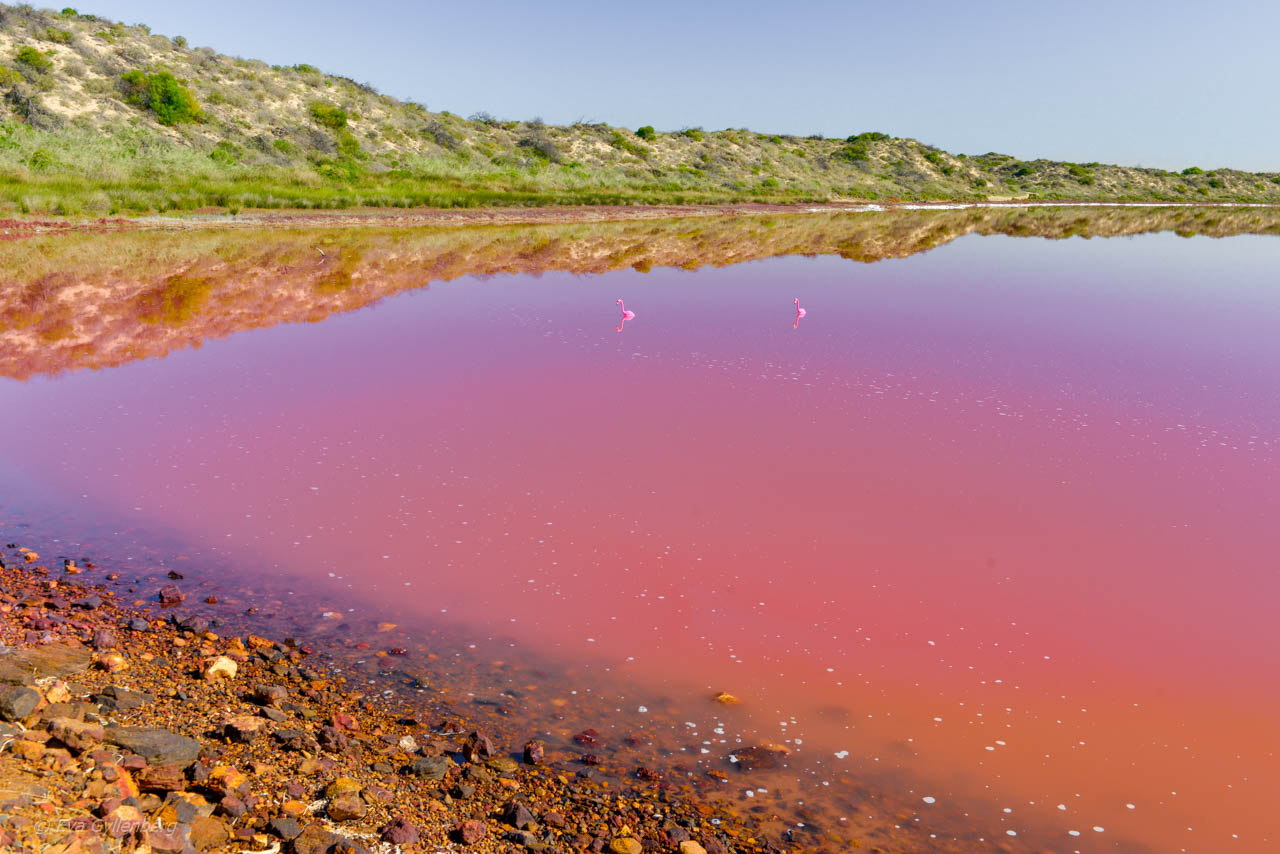 Den rosa sjön Hutt Lagoon i Australien