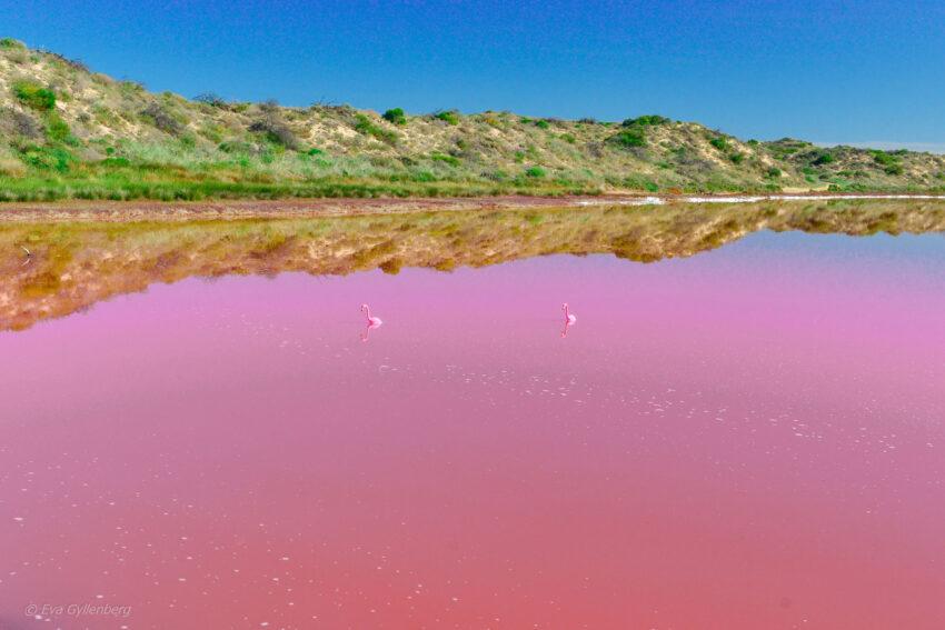 Flamingos i rosa sjö