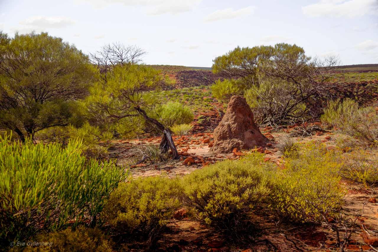 Kalbarri Nationalpark - Röda flodraviner och flugor i Western Australia - Del 1 36