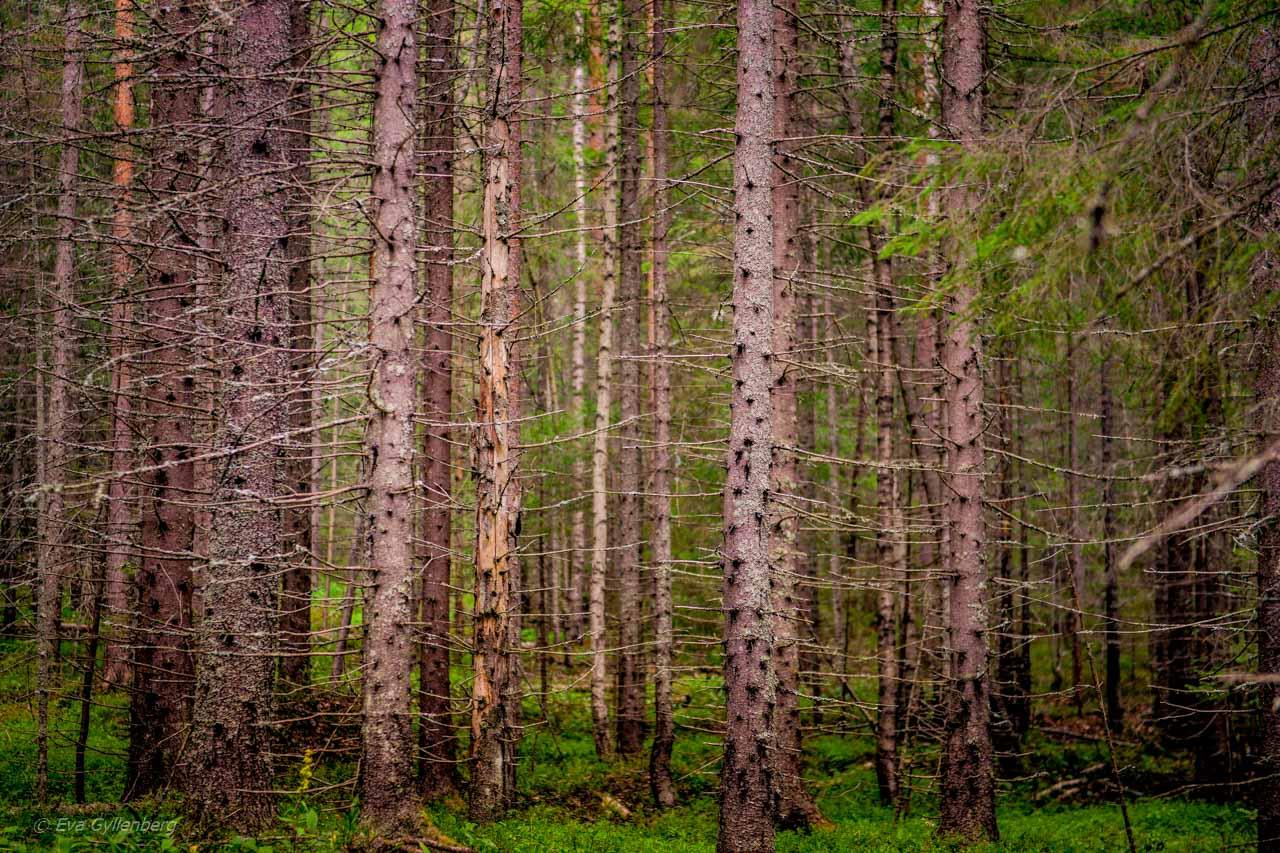 Täta barrträd i Skuleskogens nationalpark