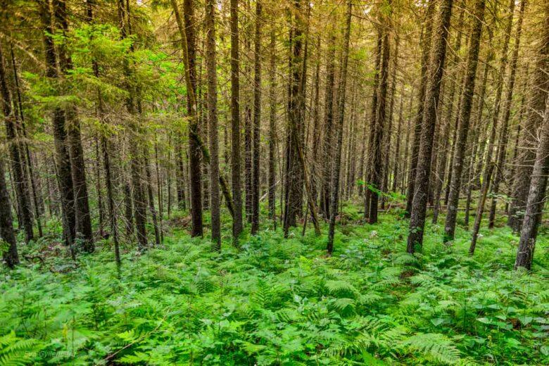 Grönskande granskog i Skuleskogen