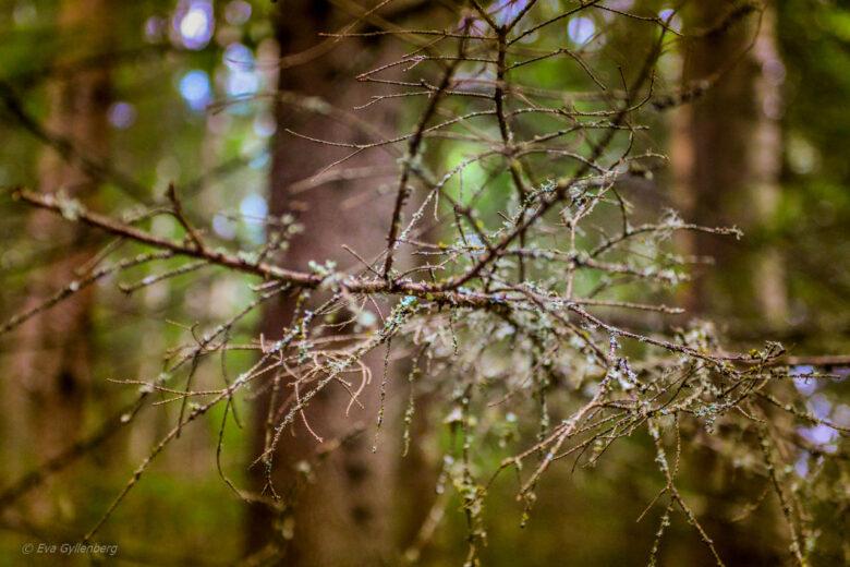 Långskägg på gran i Skuleskogen